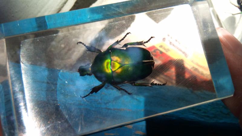 Насекомые №12 Бронзовка (Protaetia sp) фото, обсуждение